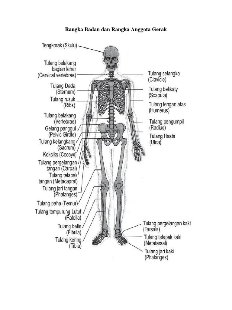 Gambar Rangka Badan : gambar, rangka, badan, Rangka, Badan, Anggota, Gerak