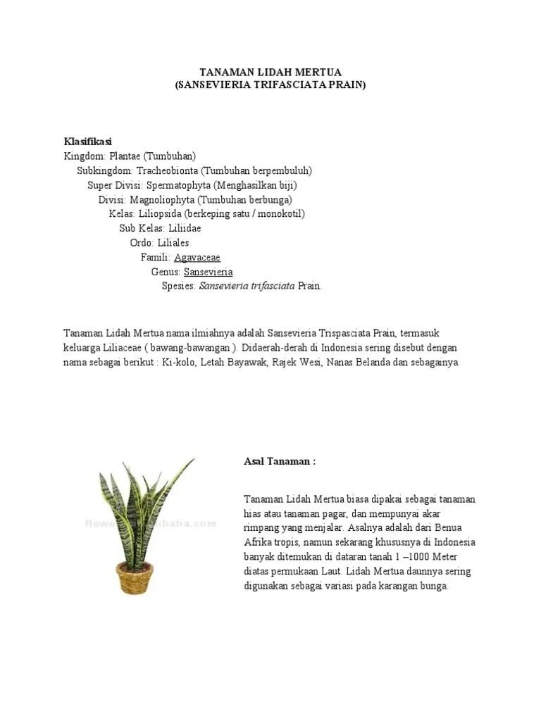 Klasifikasi Tanaman Lidah Mertua : klasifikasi, tanaman, lidah, mertua, TANAMAN, LIDAH, MERTUA