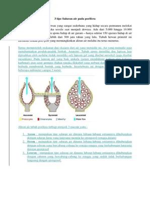 Saluran Air Pada Porifera : saluran, porifera, Saluran, Porifera
