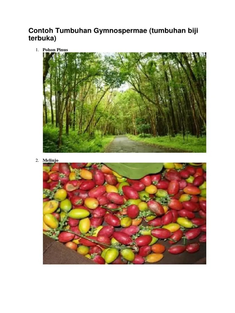 Contoh Tanaman Berbiji Terbuka : contoh, tanaman, berbiji, terbuka, Contoh, Tumbuhan, Gymnospermae, Terbuka