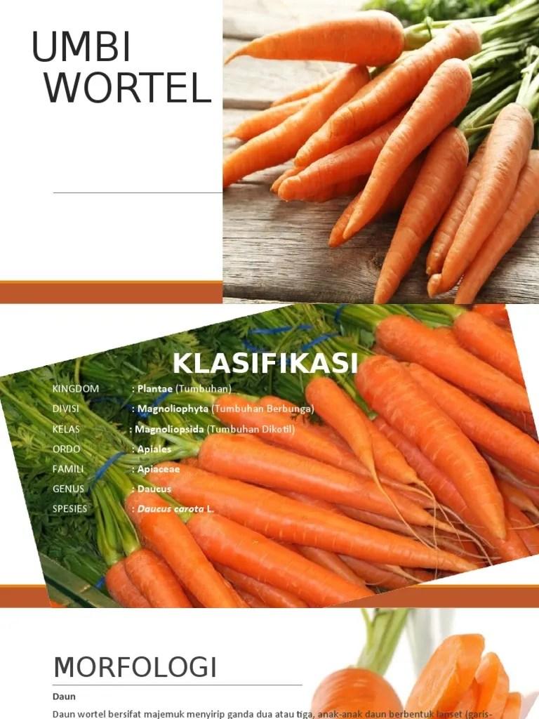 Klasifikasi Wortel : klasifikasi, wortel, Wortel