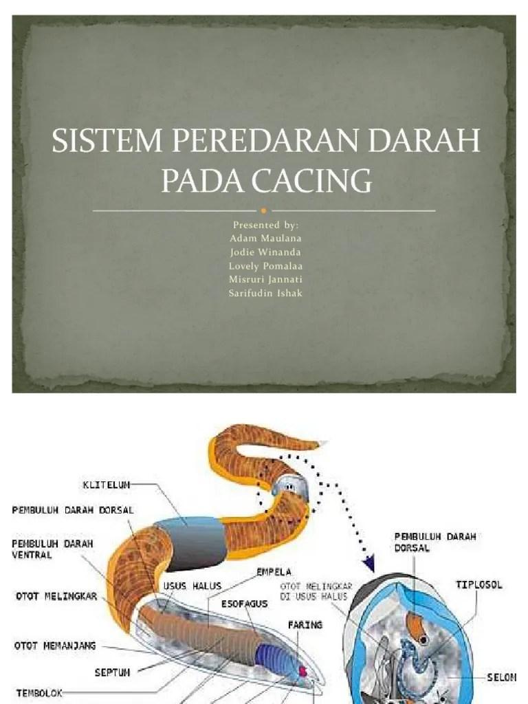Sistem Peredaran Darah Pada Cacing : sistem, peredaran, darah, cacing, Sistem, Peredaran, Darah, Cacing