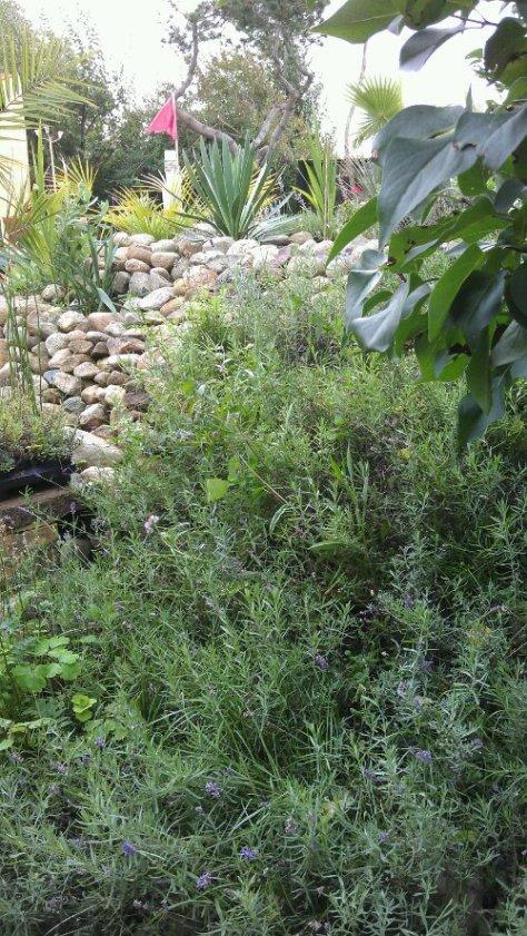 palme bjerget med masser af sten, med blåbær, mynte, krydreurter, Yucca'er, lavendel