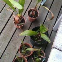 Omplantning af selvdyrkede palmer...du sagtens kan have i Danmark, Sverige og Norge
