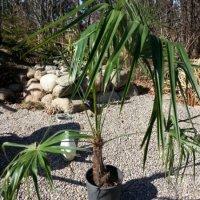 Første palme plantet...