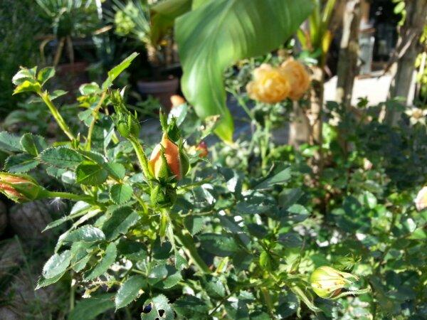 Roser og bananer