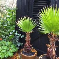 Pas på dine palmer, 3 hurtige tips