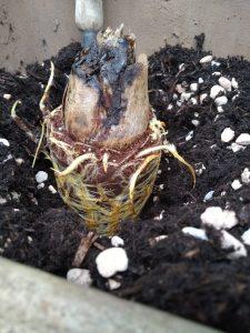 Cardiocrinum giganteum løg