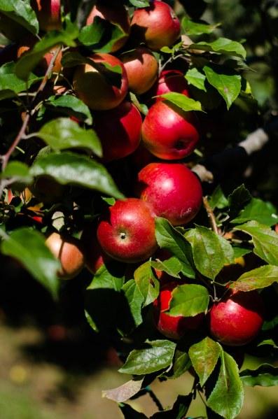 orchard 109