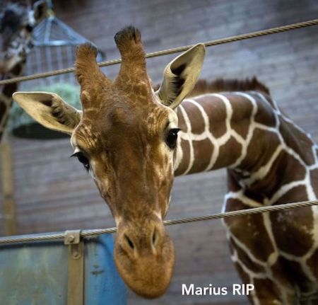 Zoo - Marius The Giraffe | www.imjussayin.com
