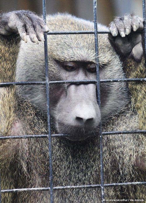 zoo a baboon in captivity looking sad | www.imjussayin.com