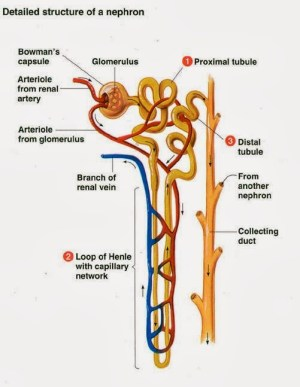 The Kidney – imjustanotherstudent