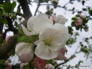 Apfelbluete 2013