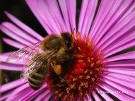 Biene mit Pollen im Oktober 2013 in Westernhausen