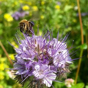 Biene auf Phacelia