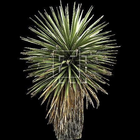 Yucca Tree Immediate Entourage