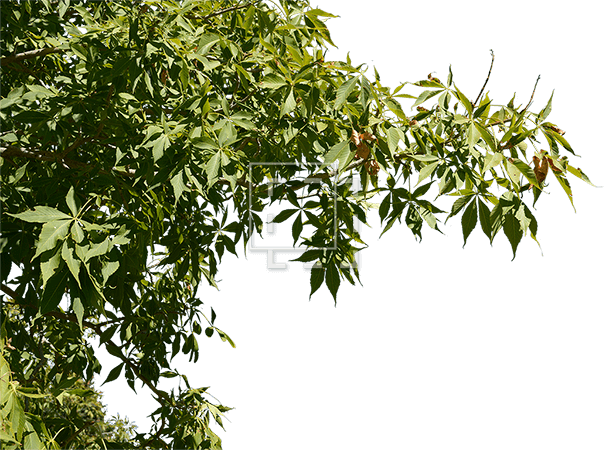 Foreground Tree