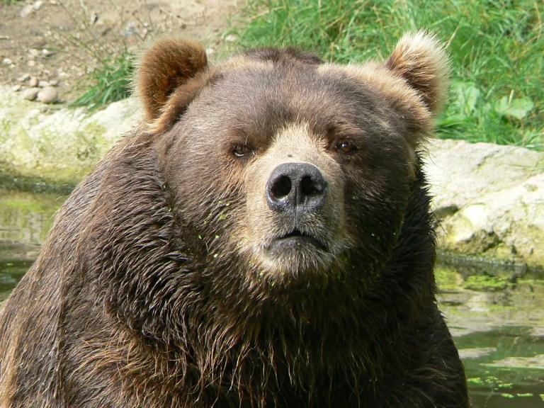 Bear Avoidance is Safer Than Bear Poking