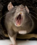 Rat giving political speech