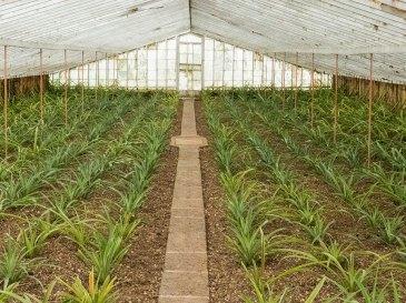 Sao-Miguel-Ananasfarm-junge-Pflanzen-Gewaechshaus
