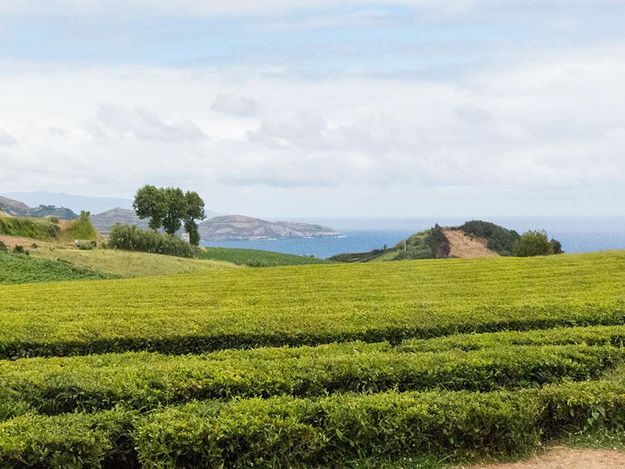 Sao Miguel Gorreana Tea Plantation