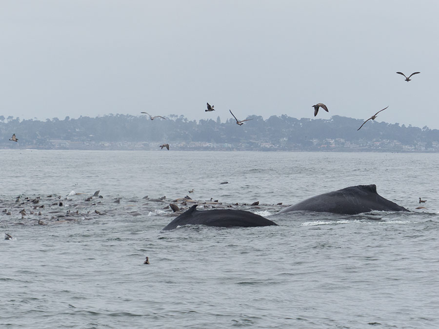 Fotoparade 2 2018 Buckelwale Monterey Bay