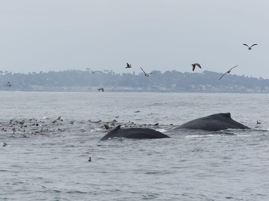 Fotoparade 2 2018 Buckelwale Monterey Bay