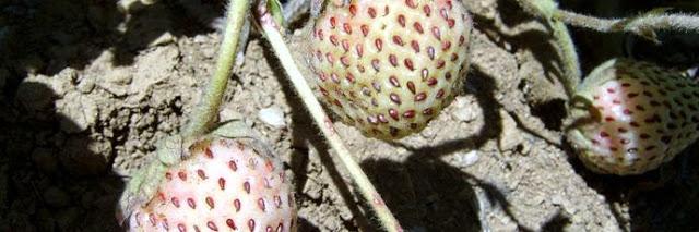 Le fragole bianche originarie del Cile, Presidio Slow Food