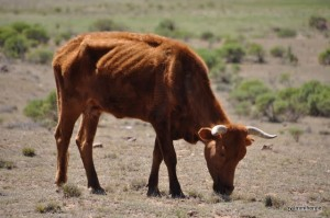 Cow - A status symbol in South Africa