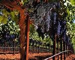 Красный виноград и концентрат Иммортель