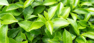 Vitamin E and Green Tea Extracts Featured