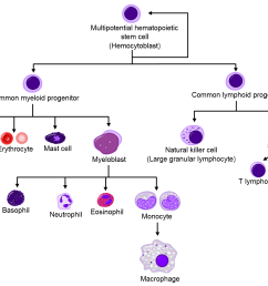 blood cells arising from hematopoietic stem cells wikimedia commons based on original by [ 1800 x 1200 Pixel ]