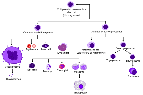 small resolution of blood cells arising from hematopoietic stem cells wikimedia commons based on original by