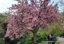 Hanami « Regarder les Fleurs » ou la « Contemplation des Cerisiers »