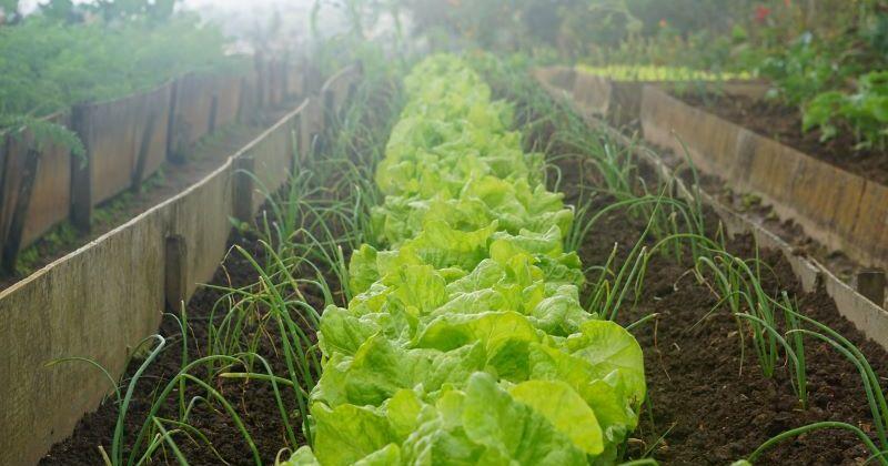 Lettuce Growing in a wooden planter