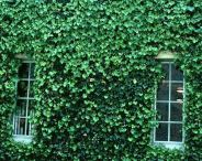 wall-ivy