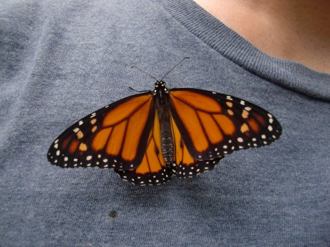 The two dots on the lower wings near the abdomen indicate that this butterfly is a male.