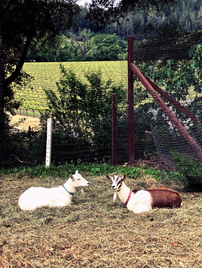 Two goats lying in a field