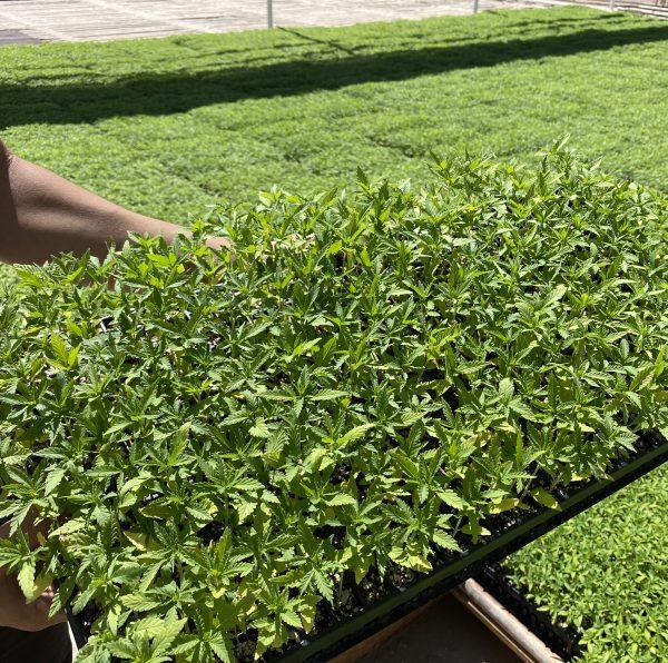 Tray of Imperial Seedlings CBD Hemp Starts