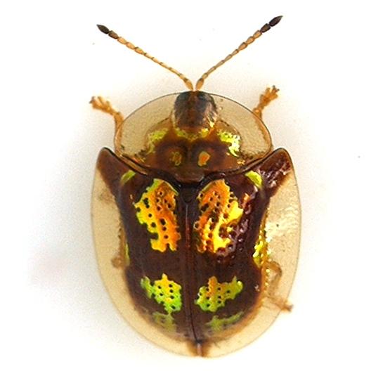 Deloyala_guttata_-_Mottled_Tortoise_Beetle