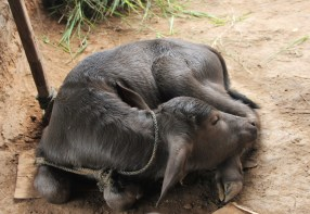 vier Tage altes Büffelkalb │ four days old buffalo calf