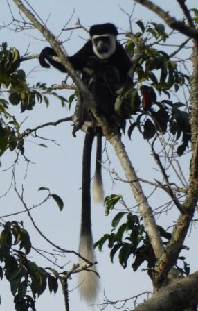 colobus mother