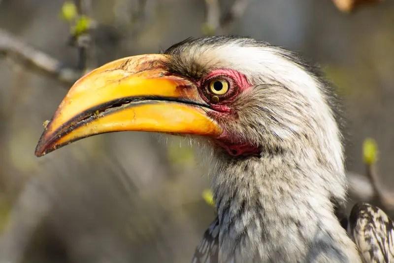 Krüger Nationalpark Gelbschnabel Toko