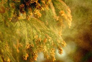 「花粉症患者実態調査報告書」によると都民の約2人に1人がスギ花粉症であることが分かった