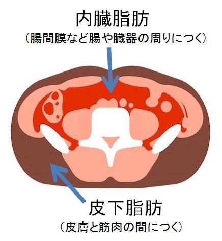 脂肪のつき方には皮下脂肪と内臓脂肪の2種類があります