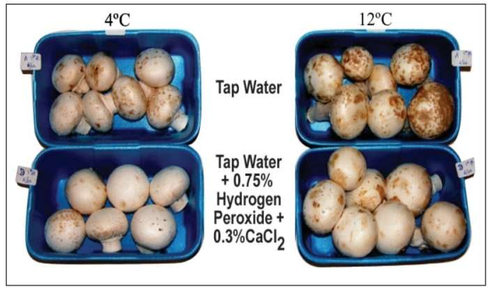 Figure 9: Photograph of postharvest mushrooms (6 d of storage at 4°C or 12°C) from a crop with mild blotch symptoms irrigated with tap water (top) or 0.3% CaCl2+ 0.75% H2O2 (bottom).