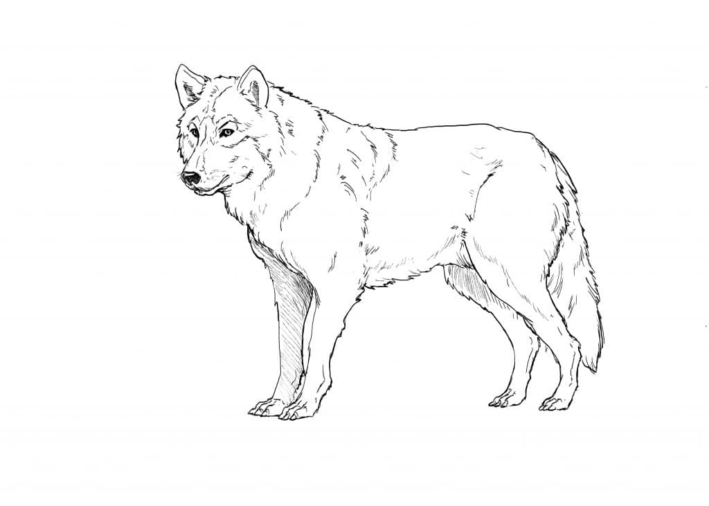 6 Ways To Draw A Wolf Realistic Cartoon And Fantasy Style Improveyourdrawings Com