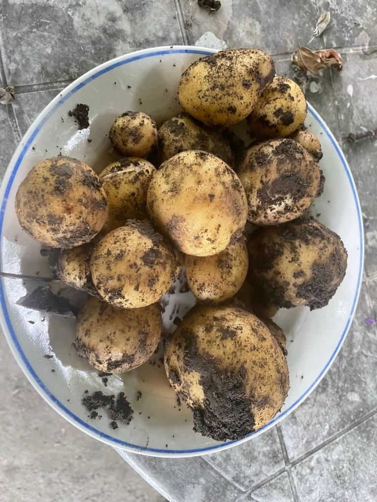 Kartoffeln  Herbstanfang im Hortus naturalis color