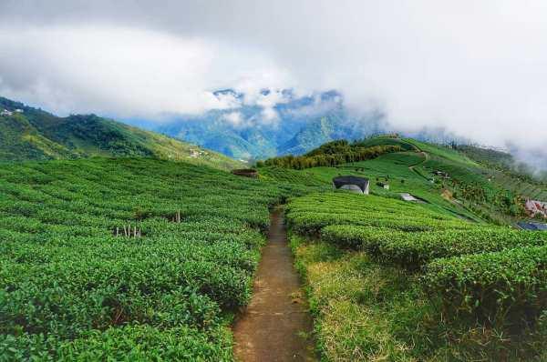 壁湖山觀光茶園