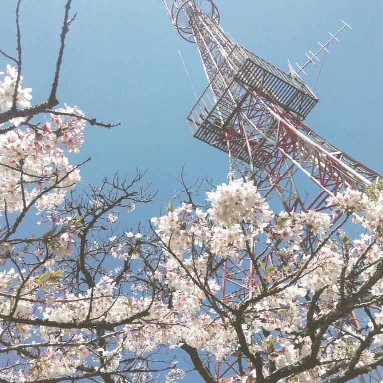 2021阿里山櫻花季 阿里山櫻花 嘉義景點 嘉義阿里山 阿里山賞櫻
